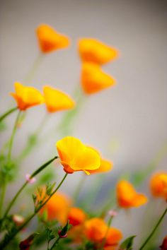 California Poppies bloom
