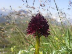 Schwarzes Kohlröschen (Nigritella nigra) #Kleinwalsertal #geschützt. Wenn Ihnen auf einer Wanderung ein Duft von Vanille entgegenströhmt, dann ist die kleine Orchidee nicht weit entfernt. Oder kommen Sie einfach bei unserer Wanderung mit und wir zeigen ihnen die tollen Plätze!