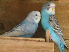 Skyblue Normal cock and Cobalt Spangle Opaline hen fledgling budgies. Blue Budgie, Budgie Parakeet, Budgies, Little Birds, Love Birds, Information About Birds, Owl Bird, Funny Cute, Animals Beautiful