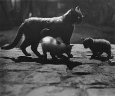 Cat and Kittens, cat photography by Brassai