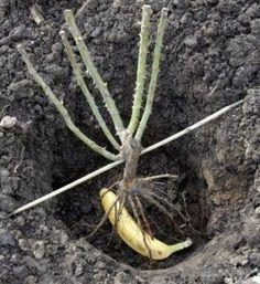 fertilizers for roses Side Garden, Garden Paths, Herb Garden, Lawn And Garden, Garden Beds, Garden Landscaping, Farm Gardens, Outdoor Gardens, Evergreen Garden