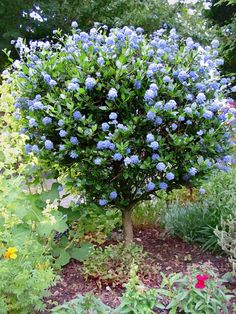 "Ceanothus ""Julia Phelps"", can be trimmed into a small tree"