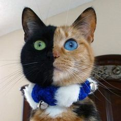 Venus the Chimera Cat  This striking cat with a face that's half black and half calico took the Internet by storm when her photo was posted to Reddit. Speculation that her face was Photoshopped was put to rest by her subsequent appearance on the The Today Show. (We believed in you all along, Venus!)