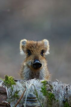 A very sweet and exciting chance encounter. It was taken in a forest near by. All the time I was wary of the wild sow.