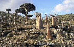 Weird flora (dragon blood trees and baobabs) on the Isle of Socotra, Yemen  (link to gallery in comments).