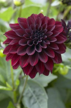 black dahlia flower - Google Search