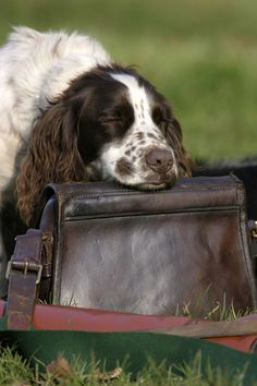 "English Springer Spaniel ~ Classic ""Head Rest"" Look Springer Spaniel Puppies, English Springer Spaniel, Spaniel Dog, Chien Springer, Springer Dog, The Fox And The Hound, Hunting Dogs, Beautiful Dogs, Dog Life"