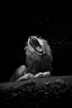 LionsRoar #