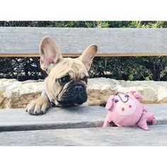 """""""I'm sorry I bit off your leg, Pig Ball. Please come back to the ground so we can talk things out?"""", adorable French Bulldog Puppy."""