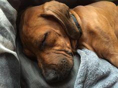 Jengo 15 weken Rhodesian Ridgeback Puppies, Die Hard, Yorkies, Beautiful Dogs, Boxer, Life Is Good, Cute Animals, Pets, Doggies