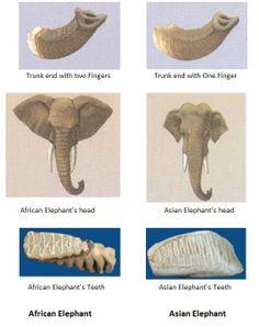 Deferences Between Asian & African Elephants