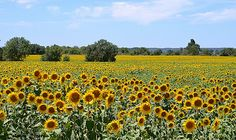 #nature Giragira como Sol meu campo girassol by celecin