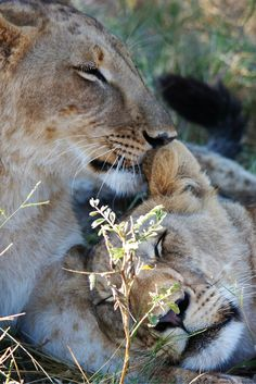 Zimbabwe | Things To Do | Travel | Vacation | Africa | Culture | Photography | Lion | Safari | Walking With Lions | Face | Nature | Wild | King | Roaring | Cub | Cuddling