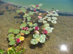natural swimming pond plants