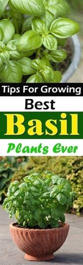 Take a look at these 9 Essential Basil Growing Tips to have a lush and productive basil plant in your herb garden! #organicgardens #BackyardGarden
