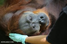 An adult Sumatran orangutan that has been put under before it is transferred to be released into the wild Read more at http://news.mongabay.com/2014/0819-orangutan-photos-world-orangutan-day.html#Vg4XgZ67k6UH3rCZ.99