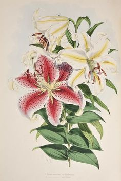 Elwes (Henry John) A Monograph of the Genus Lilium, one of 250 copies, wood-engraved title by W.H.Fitch, colour map, mounted photograph by Bourne, 48 finely hand-coloured lithographed plates by Fitch