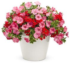 Strawberry Parfait | Proven Winners-to make this planter use 1 Supertunia Bermuda Beach and 1 Tukana Scarlet Star verbena hybrid