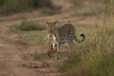Leopard with a kill,Maasai Mara safaris.