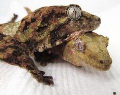 Mossy New Caledonian Giant Geckos - Dyreriget Leachie Gecko, Cute Gecko, Crested Gecko, Reptile Terrarium, Little Lizard, Komodo Dragon, Weird Creatures, Reptiles And Amphibians, African Animals