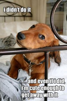 I didnt do it.and even if I did Im cute enough to get away with it  -photo credit to the owner #dogs #cats