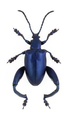Blue Leaf Beetle (Sagra femorata) from The Evolution Store