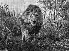 In a quirky story, this picture of a lion was taken 32 hours after Mr Yarrow was celebrating golfer Gary Player's 80th birthday