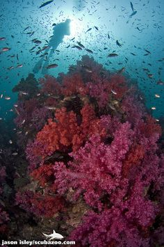Soft coral & diver, Phuket, Thailand.  I'm headed there in late February!