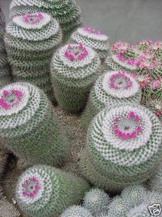 Mammillaria arroyensis - this member of the cactus family grows in rings, with perfect little flowers clustered at the top. It looks like a cactus little girls designed. Rare Flowers, Little Flowers, Beautiful Flowers, Exotic Flowers, Purple Flowers, Cacti And Succulents, Planting Succulents, Planting Flowers, Flowers Garden