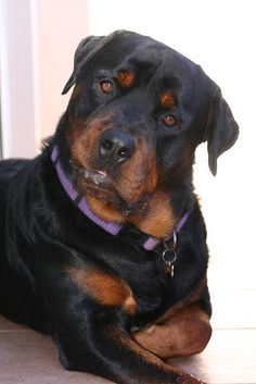 Rottweiler...if i ever chose to get a puppy...i would sooo get a little girl one of these !!!...I knew one very handsome, loving of HIS kids,sweet,120lb...gorgeous one once.. Brave Sebastion...he is sadly missed <3