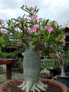 Bonsai Seeds, Bonsai Plants, Bonsai Garden, Plantas Bonsai, Desert Rose Plant, Desert Plants, Tropical Landscaping, Tropical Garden, Rare Flowers