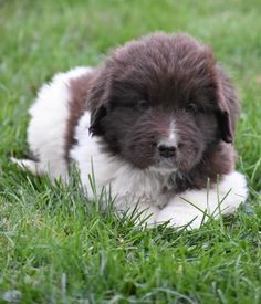 Lancaster Puppies makes it easy to find healthy puppies from reputable dog breeders across Pennsylvania, Ohio, and more. Newfoundland Puppies, Dog Boarding, Puppies For Sale, Labrador Retriever, Fur Babies, Dogs, Friends, Amor, Animales