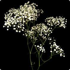 The baby's breath is dead ٩(๑`ȏ´๑)۶ - Album on Imgur