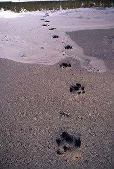 Tapir tracks