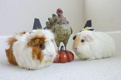 guinea pilgrims