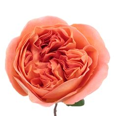 Garden Rose Rene Goscinny is a vibrant orangey pink flower with hues of peachy salmon that swirl together to make a extravagant cup shaped bloom. Hints of saffron add a demure yellow highlight while a sophisticated rose scent are the bow on top of this lovely treat of a rose.