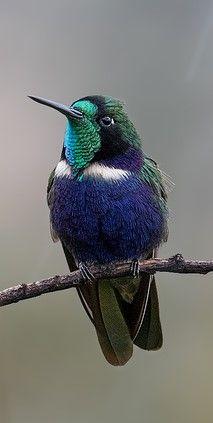 Colibri Colaceleste Hyacinth Visorbearer Grunmaskenkolibri