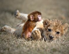 A baby lion and a baby monkey play at the Guaipo Manchurian Tiger Park in Shenyang, capital of northeast China's Liaoning Province, April 19...