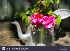 Download this stock image: Beautiful fuchsia in an old metal teapot in the garden - EY0C75 from Alamy's library of millions of high resolution stock photos, illustrations and vectors.
