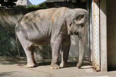 La elefanta más antigua de Japón, murió a los 69 años en su prisión de concreto a pesar de una ...