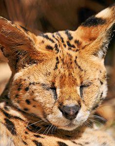 Sleeping serval by Tambako the Jaguar, via Flickr