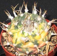 Turbinicarpus Klinkerianus variegata