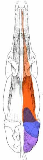 How the hindquarters and back muscles work together, seen from above