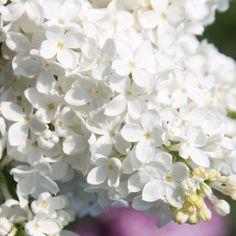 Flieder Syringa vulgaris 'Lebedushka' - Russische Raritäten - Flieder-Raritäten Fliedertraum