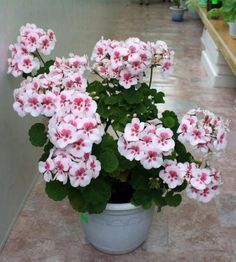 How to properly cut geranium so that it blooms magnificently Beautiful Flowers Garden, Love Garden, Flowers Nature, Love Flowers, Garden Plants, Indoor Plants, House Plants, Flowers Perennials, Planting Flowers