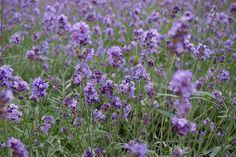 Japan Hokkaido Furano Lavender