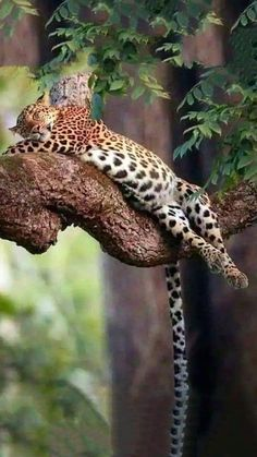 It's a leopard Lazy-boy. Big Cats, Cats And Kittens, Cute Cats, Nature Animals, Animals And Pets, Cute Animals, Serval, Beautiful Cats, Animals Beautiful