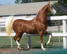 Stunning American Saddle bred 'Cheyenne Gold'
