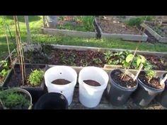 Tomato & Vegetable Garden Disease Prevention: Aspirin, Baking Soda, Neem Oil - TRG 2016 - YouTube