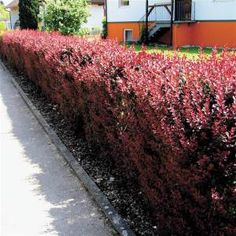 Berberis thunbergii Hedge - 10 hedge plants buy online order now Evergreen Hedging Plants, Shrubs, Large Flowers, Yellow Flowers, Flower Hedge, Pots, Plant Identification, How To Attract Birds, Plants